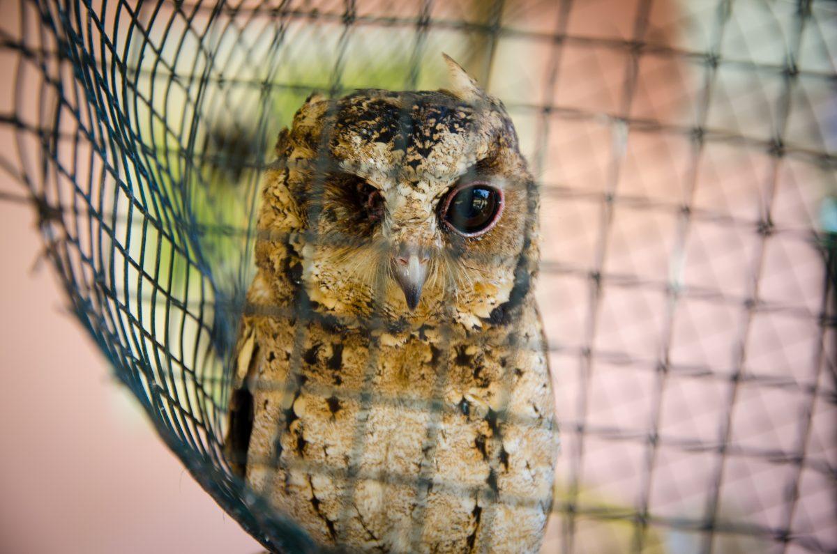2014_Owl_Borneo_Indonesia