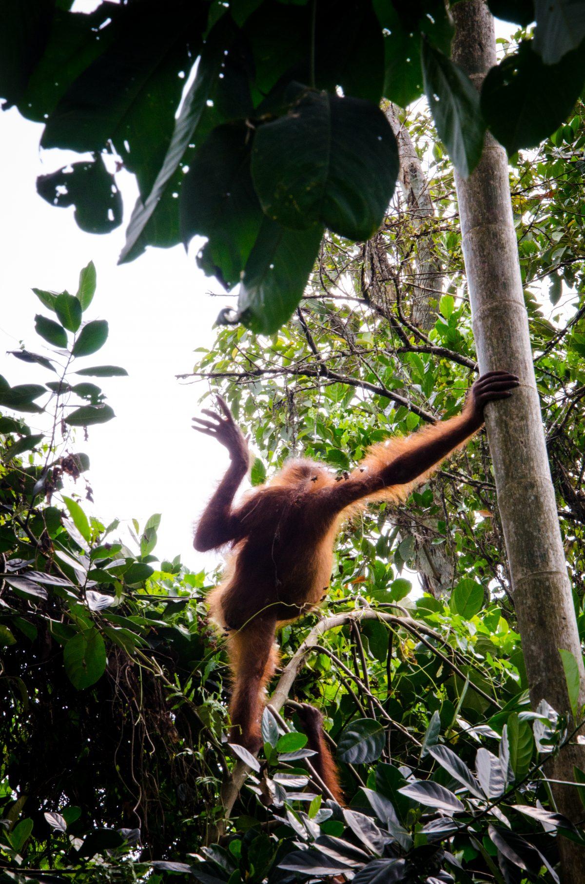 2014_Urangutan_Borneo_Indonesia